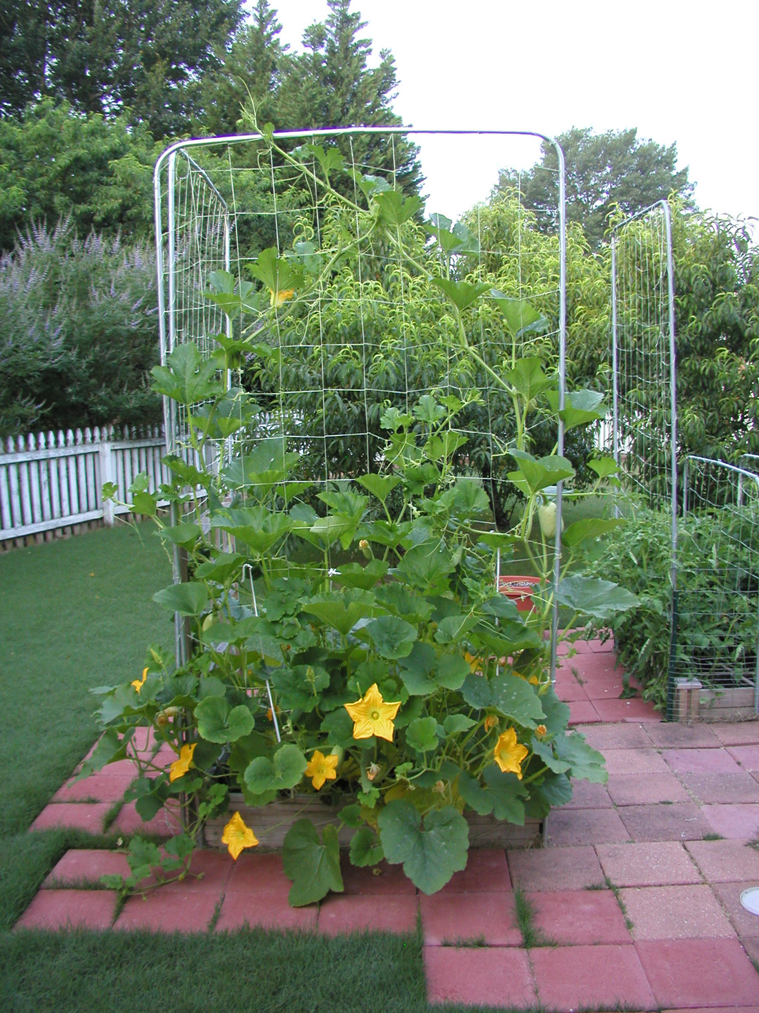 Growing spaghetti squash in containers for Growing gardens