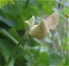 Chinese_Mossaic_Bean_Flower_before_opening.jpg